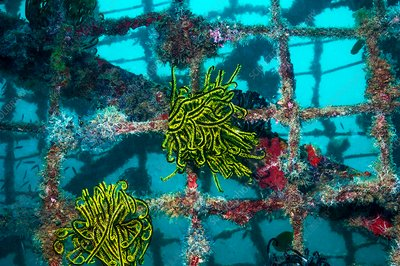 Crinoids on an artificial reef