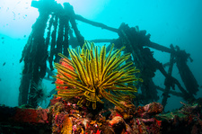 Crinoid on an artificial reef