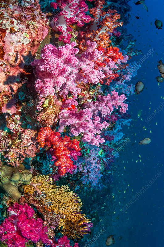 Dendronephthya soft corals on a reef