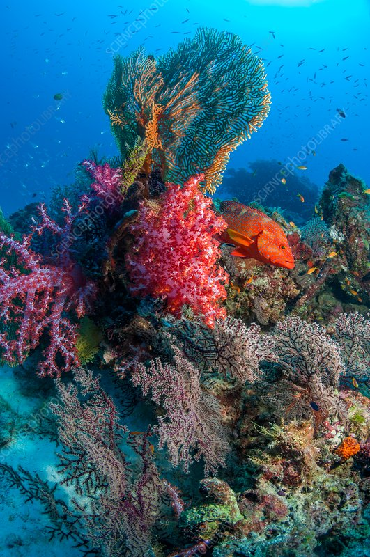 Corals, gorgonians and coral hind reef fish