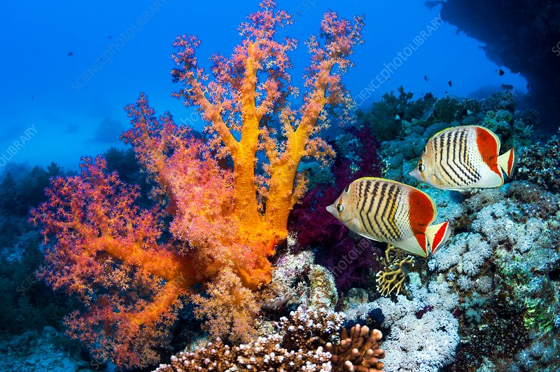 Soft corals and butterflyfish on a reef