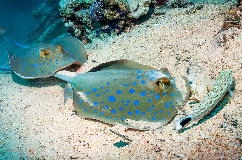 Bluespotted ribbontail rays