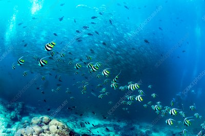 Bannerfish and bigeye trevally