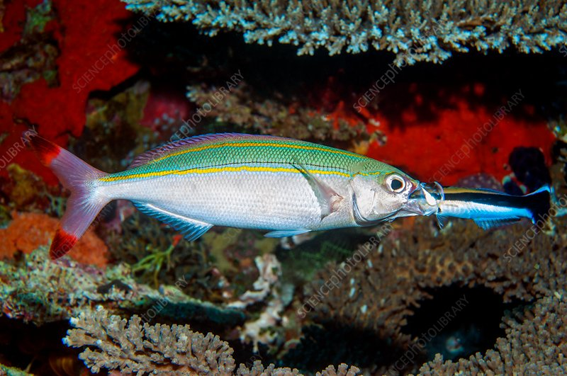 Doublelined fusilier and cleaner wrasse