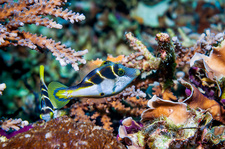 Blacksaddle filefish