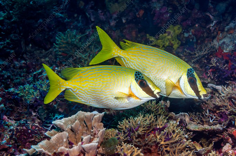 Masked rabbitfish pair