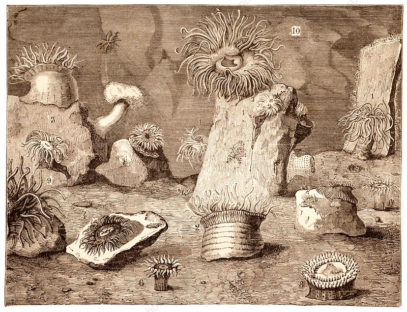 Illustration of sea anenomes