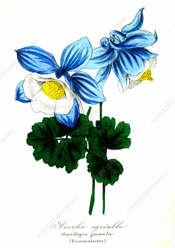 Columbine, 19th Century illustration