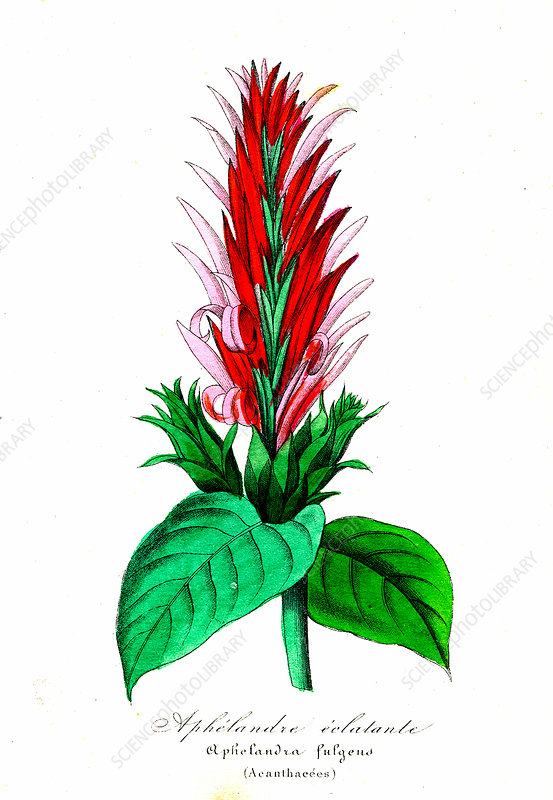 Aphelandra fulgens, 19th Century illustration