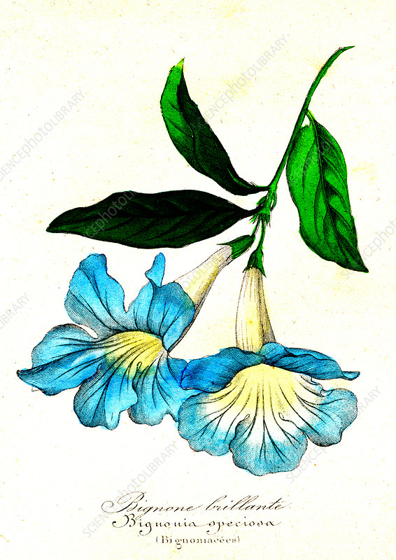 Bignonia speciosa, 19th Century illustration