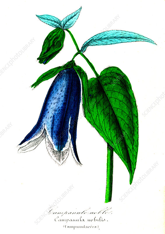 Campanula nobilis, 19th Century illustration