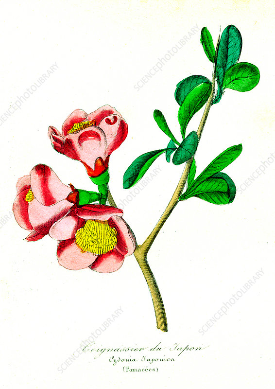 Quince (Cydonia japonica), 19th C illustration