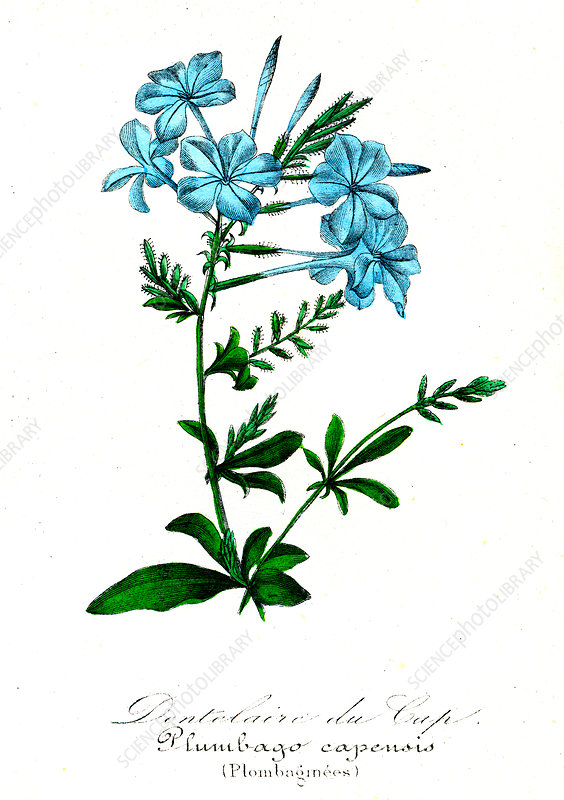 Plumbago capensis, 19th Century illustration
