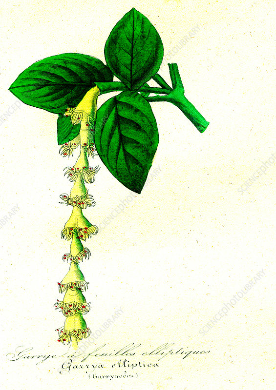 Silk tassel-bush, 19th C illustration