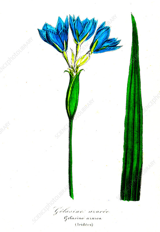 Iris (Gelasine azurea), 19th Century illustration