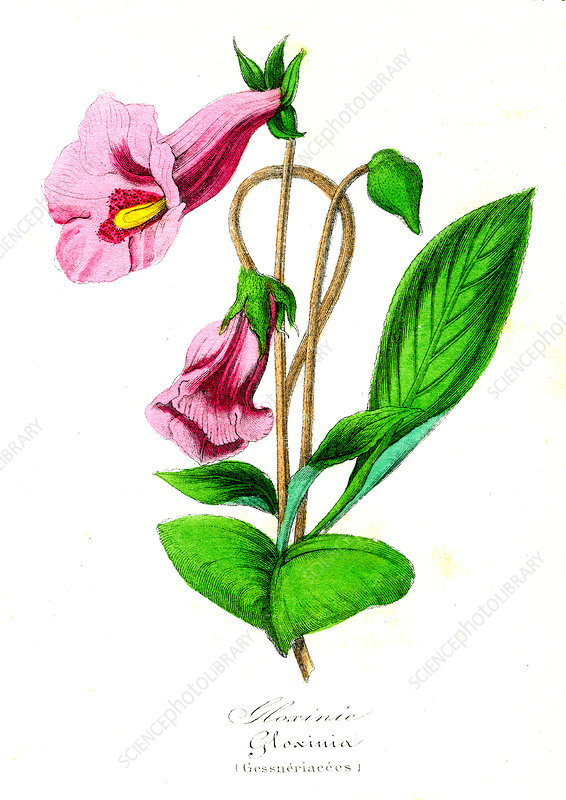 Gloxinia sp. in flower, 19th Century illustration