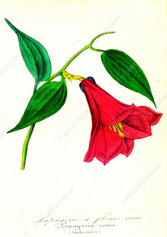 Chilean bellflower, 19th C illustration