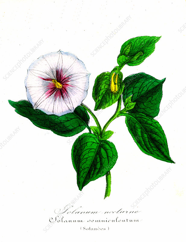 Solanum somniculentum, 19th Century illustration