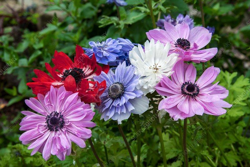 Anemone coronaria 'De Caen', mixed flowers