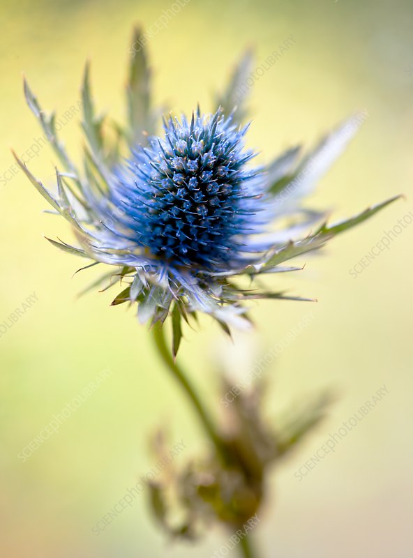 Sea Holly (Eryngium 'Orion Questar')