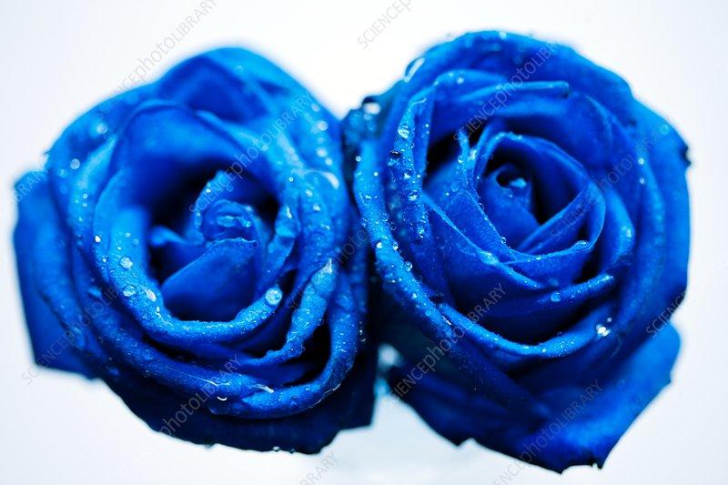 Roses (Rosa 'Blue Ocean')