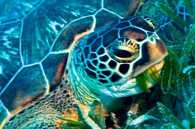 Green turtle feeding