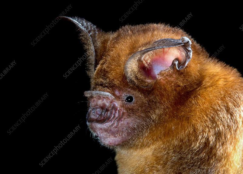 Intermediate Roundleaf Bat