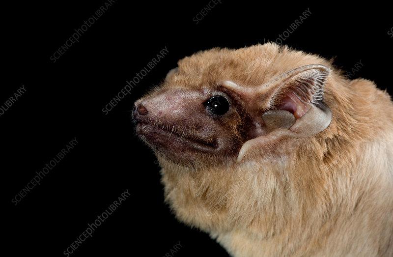 Black-bearded tomb bat