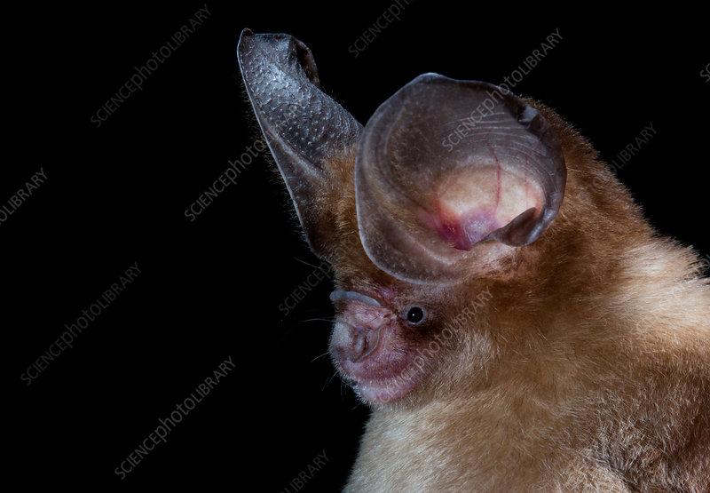 Large-eared roundleaf bat