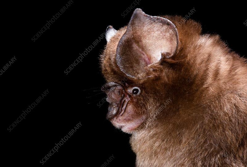 Cantor's roundleaf bat