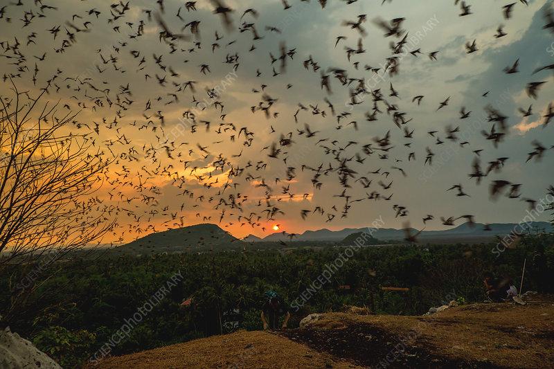 Asian wrinkle-lipped bats