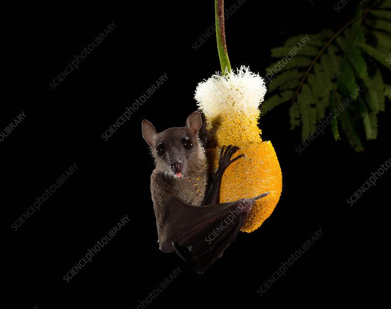 Cave nectar bat at flower