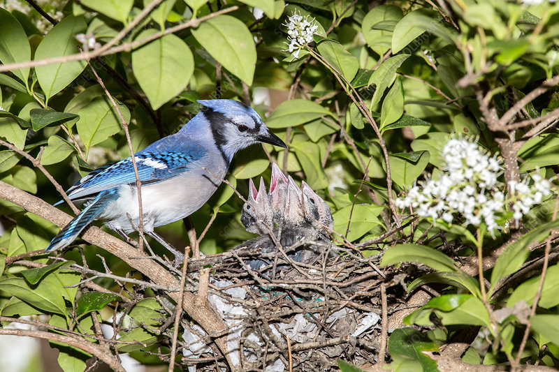 Blue jay feeding chicks
