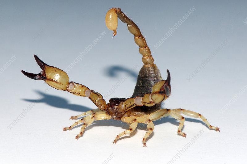 Scorpion, Anuroctonus pococki