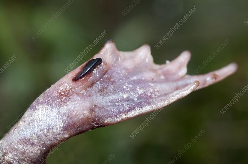 Eastern Spadefoot Toad (S. holbrookii) foot