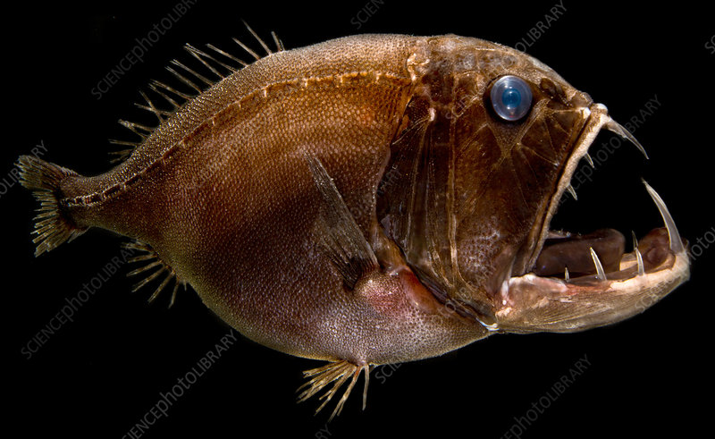 Deep Sea Fangtooth