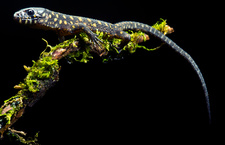 Yellow Spotted Tropical Night Lizard