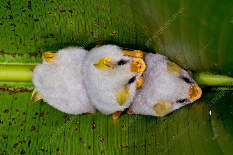Honduran white bats (Ectophylla alba)