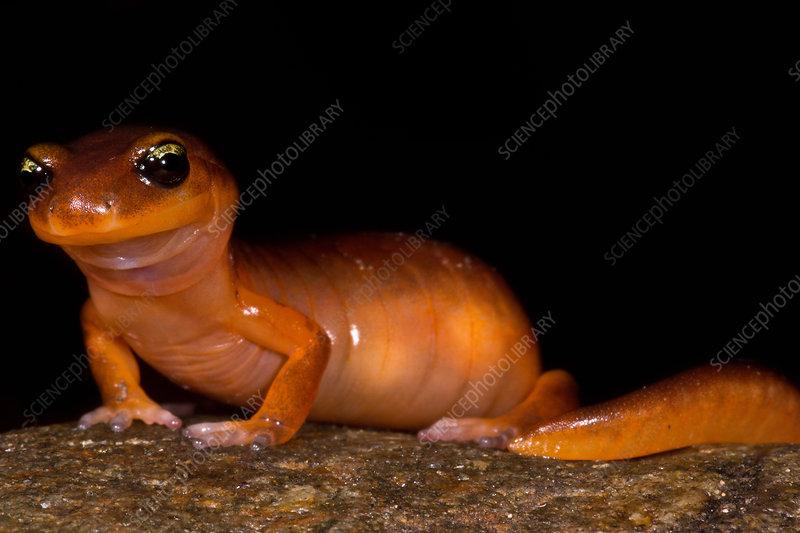 Yellow-eye Ensatina Salamander