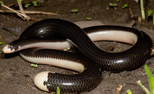 Reticulate Worm Snake
