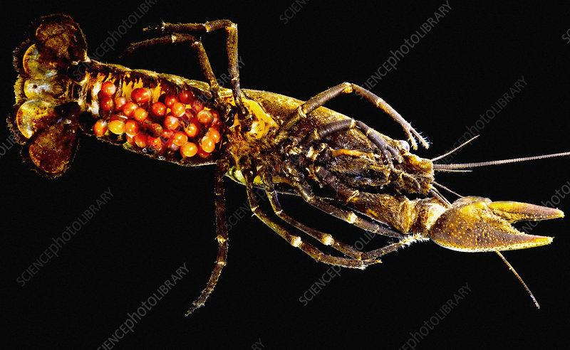 Gravid Chilean Crayfish