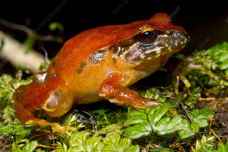 Rosy Ground Frog