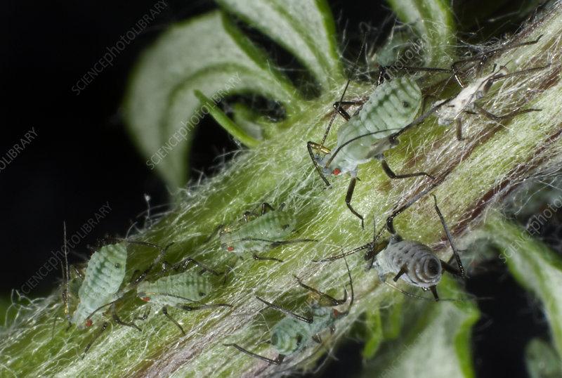 Slender Mugwort Aphids
