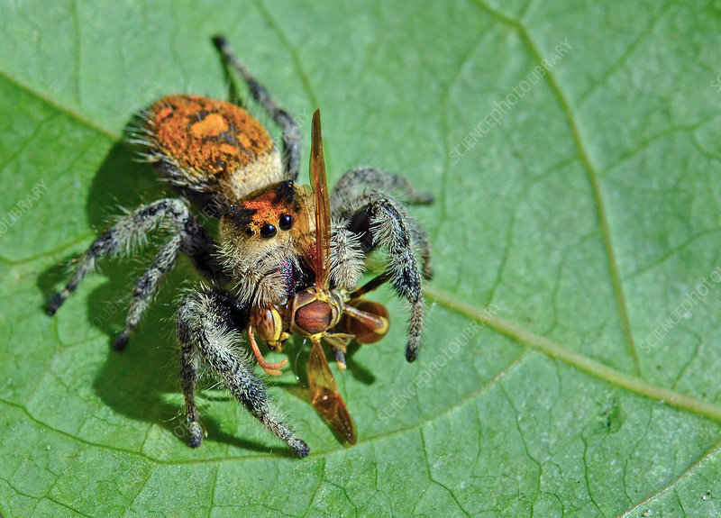 Regal Jumping Spider eating Polistes wasp