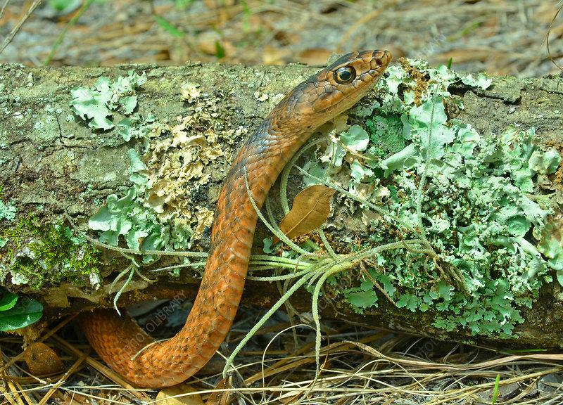 Eastern Coachwhip Snake