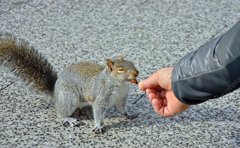 Grey Squirrel eats almond