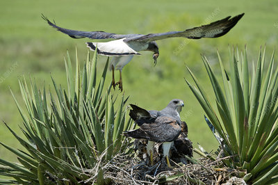 White-tailed Hawk Family