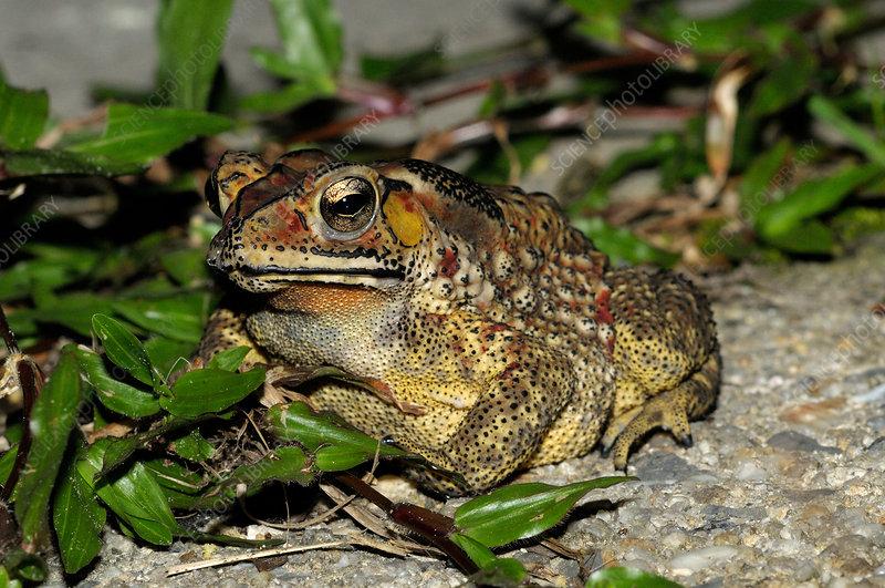 Common Sunda toad