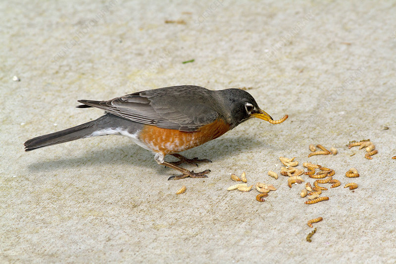 American robin eating mealworms