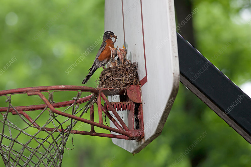 American Robin feeding young